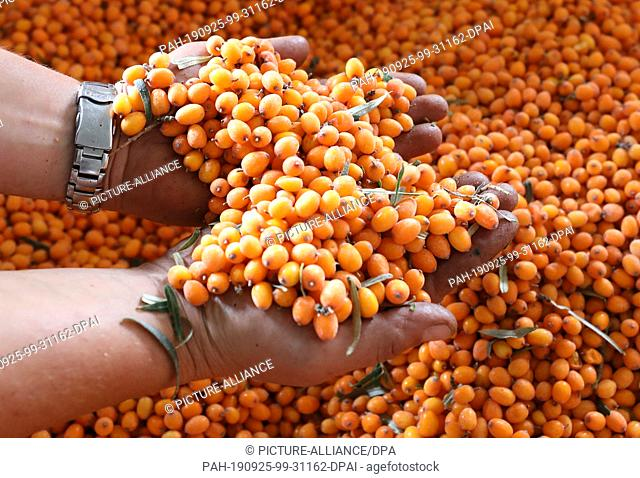 25 September 2019, Mecklenburg-Western Pomerania: On Forst Schneebecke an employee shows harvested sea buckthorn. On Forst Schneebecke are harvest assistants at...