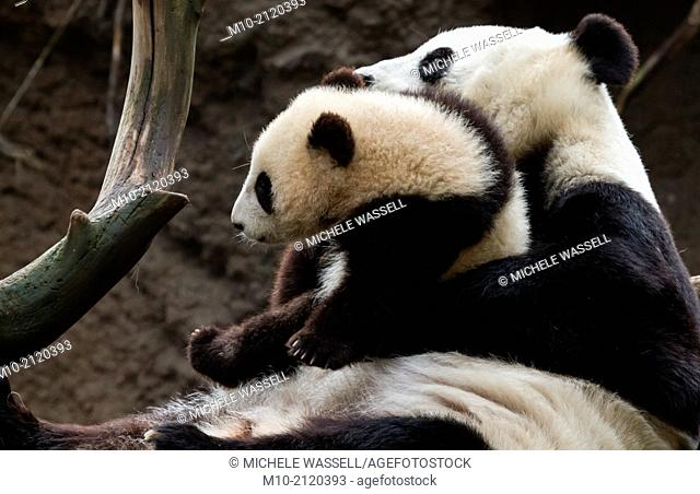 Mom and baby Giant Panda spending some quality time together