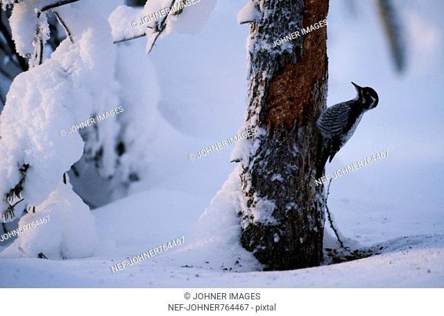 A woodpecker in the winter