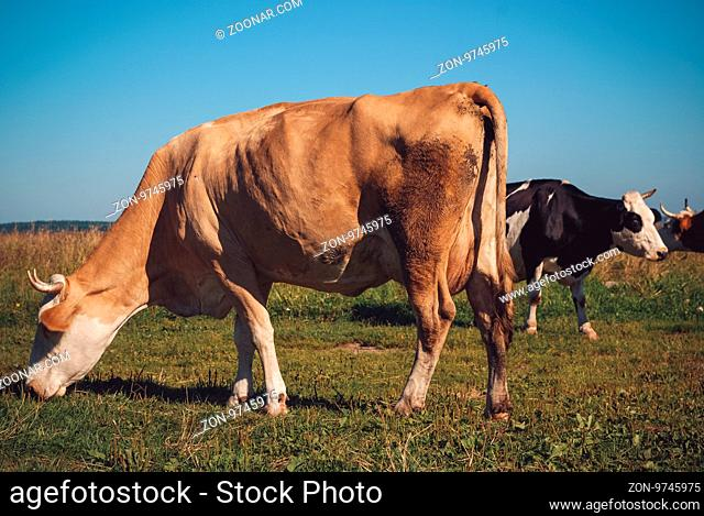 Cows grazing on green meadow at sunny day