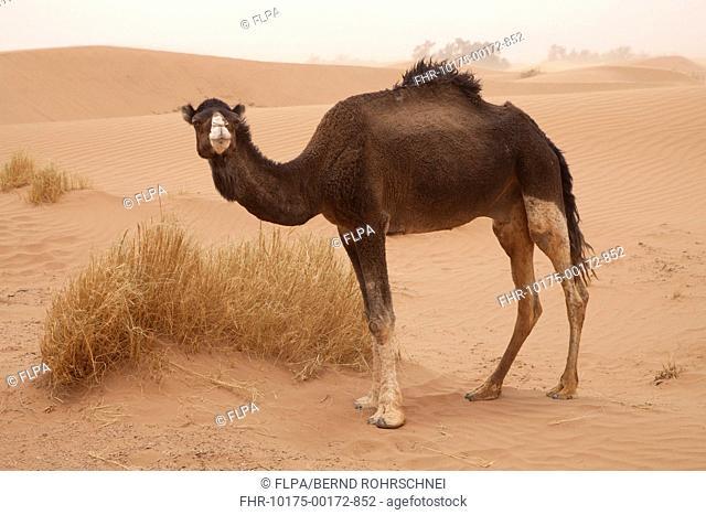 Dromedary Camel Camelus dromedarius adult, standing on desert sand dune, Sahara, Morocco, may