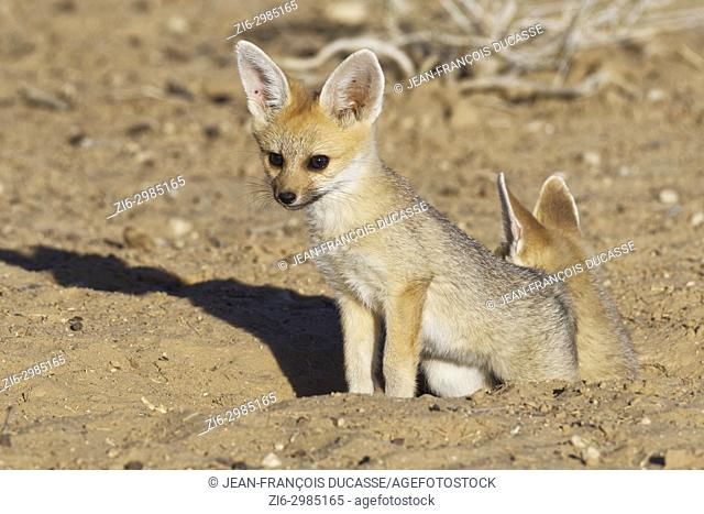 Cape fox (Vulpes chama), two cubs at burrow entrance, evening light, Kgalagadi Transfrontier Park, Northern Cape, South Africa, Africa