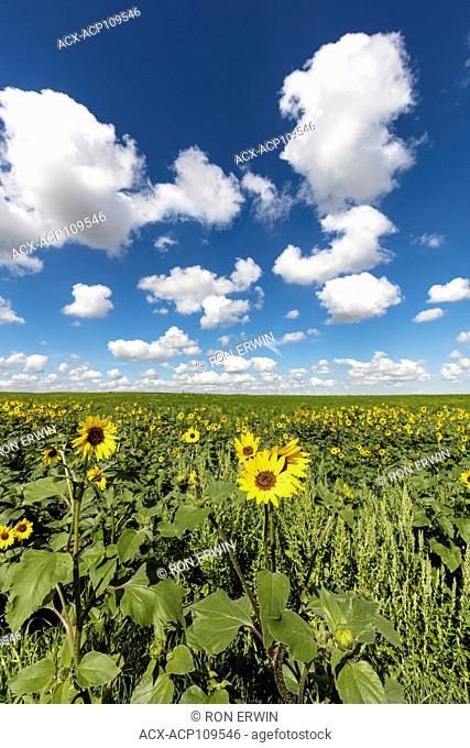 Common Annual Sunflower (Helianthus annuus) in Saskatchewan, Canada