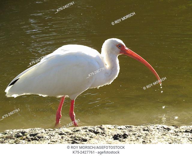 American white ibis wading