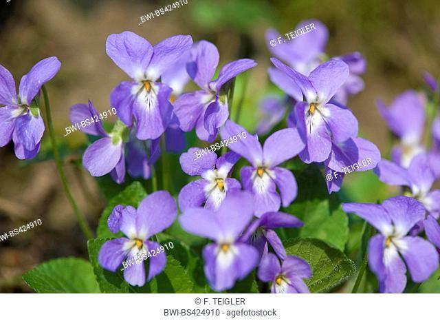 Hairy violet (Viola hirta), flowers, Germany