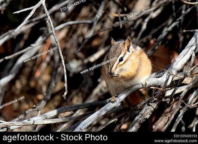 chipmunk trying to stay hidden and blend in while eating