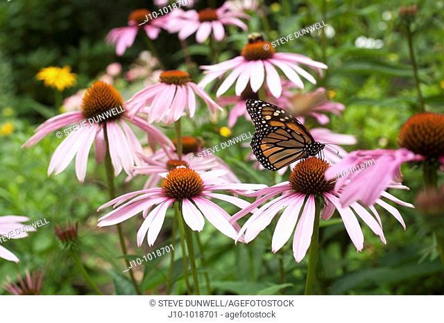 Monarch butterfly on flowers, Winchester, Massachusetts, USA
