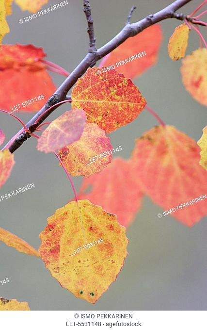 Autumn tinted aspen leaves  Joensuu, Finland