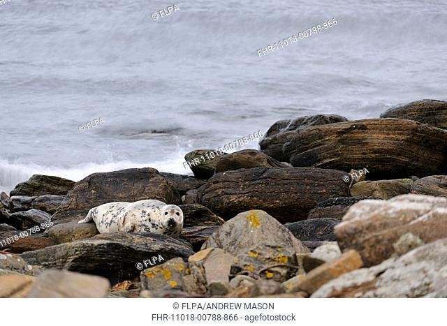 Grey Seal (Halichoerus grypus) adult female, resting amongst rocks on beach, Duncansby Head, Caithness, Scotland, November