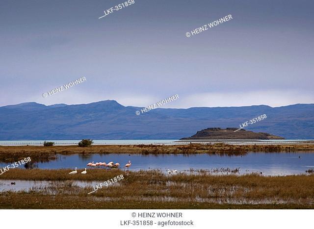 Flamingos at the bird sanctuary Laguna Nimez, Lago Argentino, Los Glaciares National Park, near El Calafate, Patagonia, Argentina