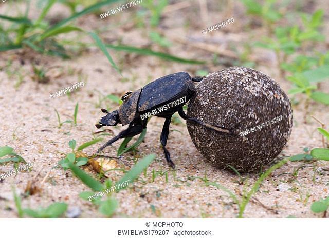 scarab beetle, scarab Scarabaeus spec., with dung pill, Namibia, Mahango National Park