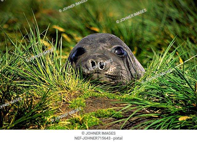 Young elephant-seal in the grass, South Georgia