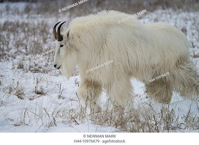 mountain goat, white, snow, winter, oreamnos americanus, animal, Yukon, Canada