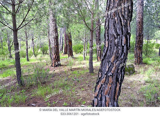 Spring at Concejo pinewood in Cadalso de los Vidrios. Madrid. Spain