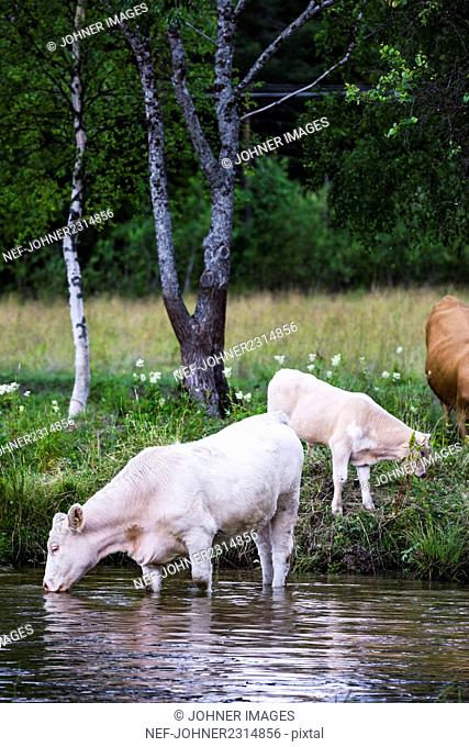 Cattle by river