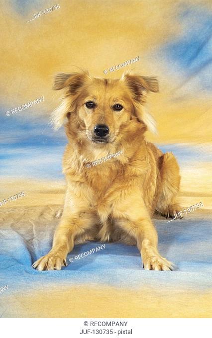 half breed dog - lying - cut out