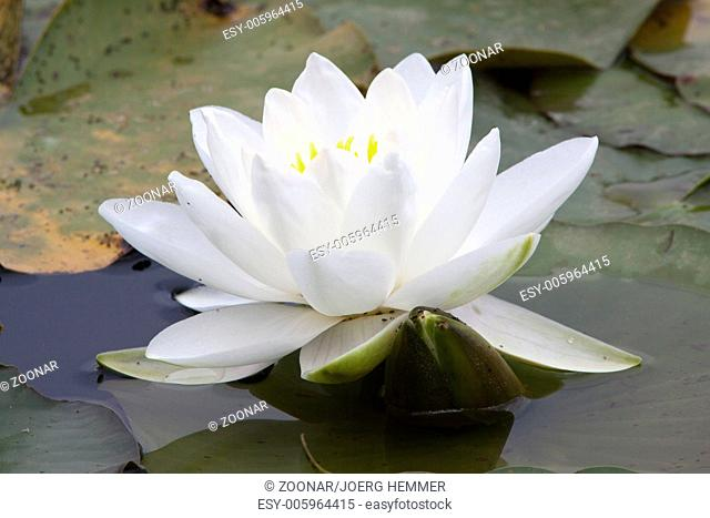 Nymphaea alba, White Waterlily