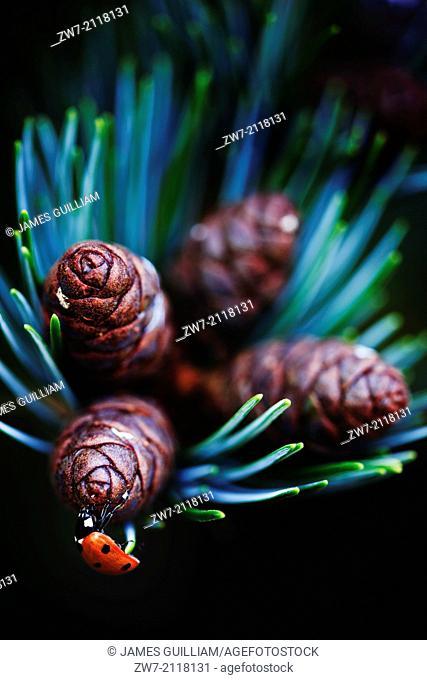 Ladybird (Coccinella 7-punctata) amongst pine cones