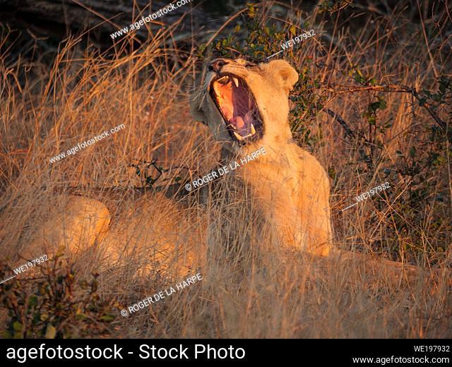 Lion (Panthera leo) yawning. Mpumalanga. South Africa