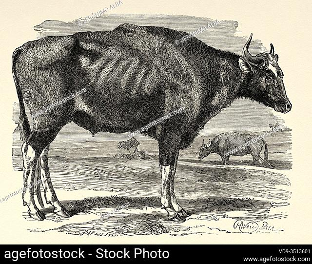 The gaur (Bos gaurus) or seladang, is a wild bovine from India, Nepal and Indochina, closely related to domestic cows, India