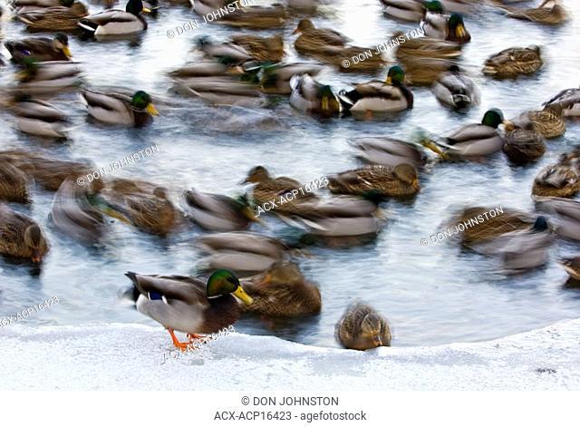 Mallard duck Anas platyrhynchos flock swimming in the open water of Junction Creek in winter, Sudbury, Ontario
