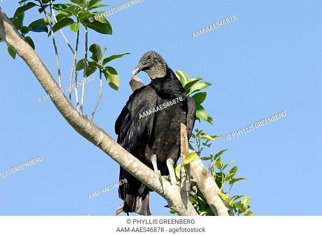 Black Vulture (Coragyps atratus) Everglades Nat.Park 2006