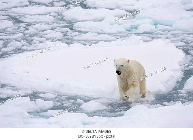 Polar bear (Ursus maritimus), Polar Ice Cap, 81north of Spitsbergen, Norway