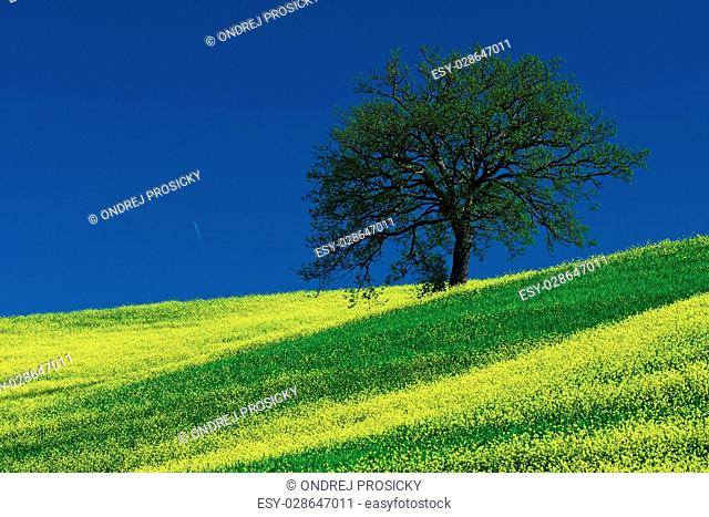 Tree on the yellow flower field with clear blue sky, Tuscany, It