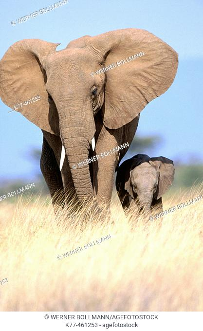 African Elephants (Loxodonta africana), mother and calf. Samburu National Reserve. Kenya