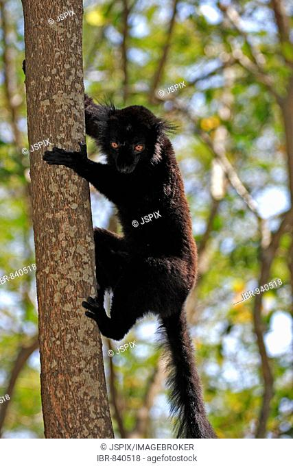Black Lemur (Eulemur macaco), adult male in a tree, Nosy Komba, Madagascar, Africa