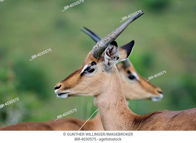 Mirror portrait of two impala stags (Aepyceros melampus), Ithala Game Reserve, KwaZulu Natal, South Africa