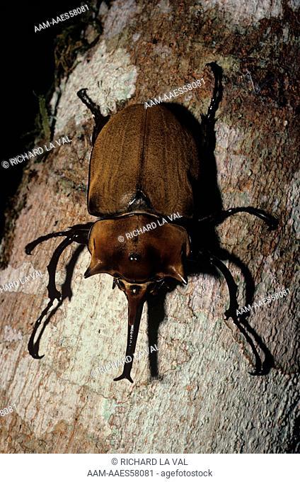 Rhinoceros Beetle (Megasoma elephas) La Selva, Costa Rica