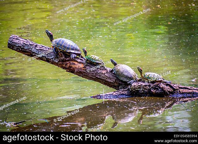 A portrait shot of a semi aquatic turtle chilling in the lagoon of Welasco