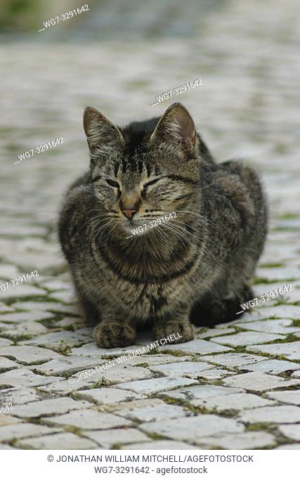 Tabby Cat sitting on paving stones