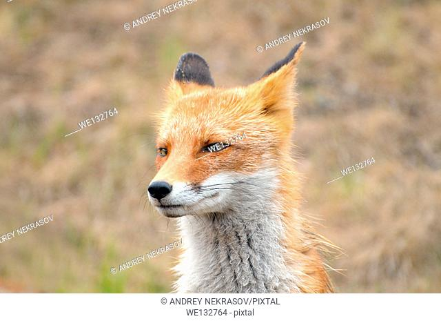 Portrait blinked, wet red fox (Vulpes vulpes), Vladivostok, Far East, Russia