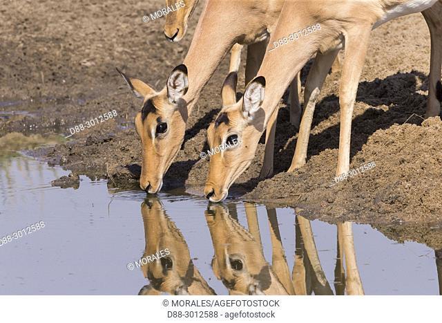 South Africa, Mala Mala game reserve, Impala (Aepyceros melampus), adult female drinking