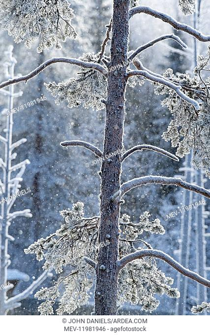Landscape. Snow flakes falling in frosty trees, Finland