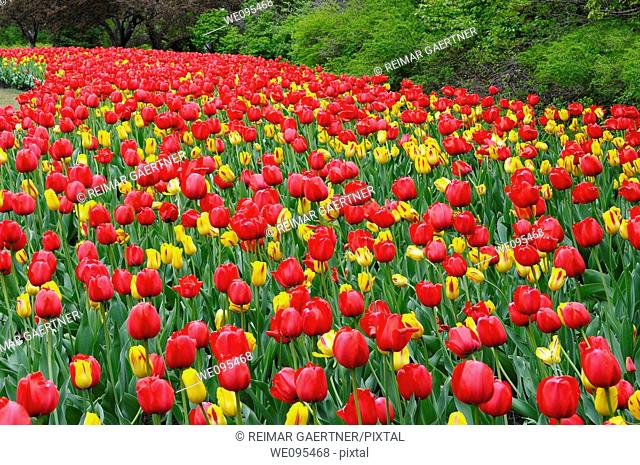 Sweeping bed of Red Impression and yellow Washington Tulips at Ottawa Tulip Festival