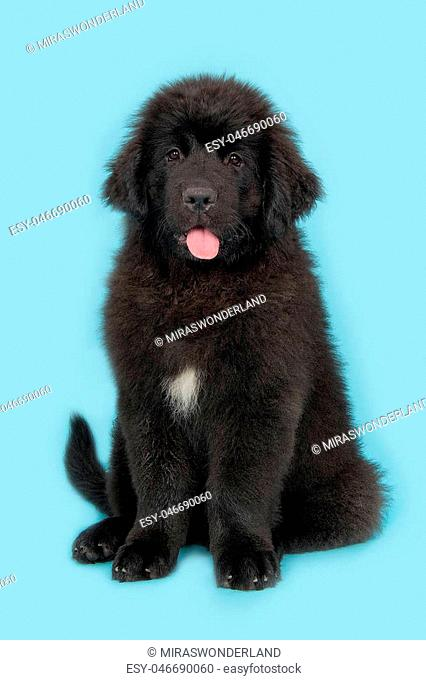 Cute young black new foundland dog facing the camera with tongue out of its mouth sitting on a blue background