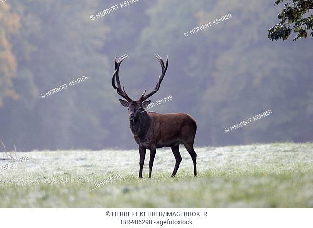 Red deer (Cervus elaphus), stag, in a hoarfrost meadow