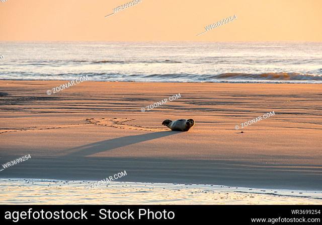 Heuler auf einer Sandbank