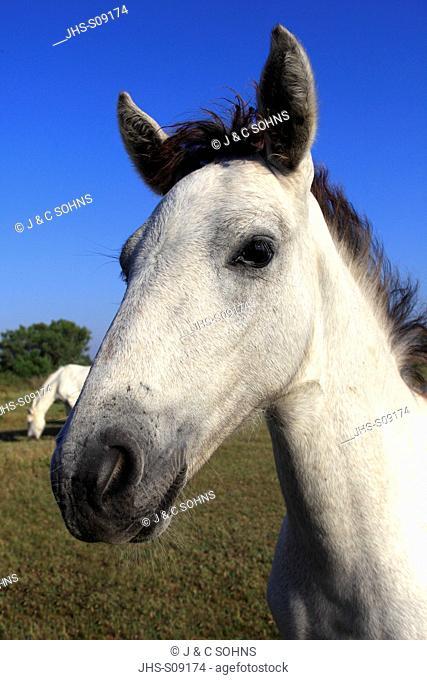Camargue Horse,Equus caballus,Saintes Marie de la Mer,France,Europe,Camargue,Bouches du Rhone,young portrait