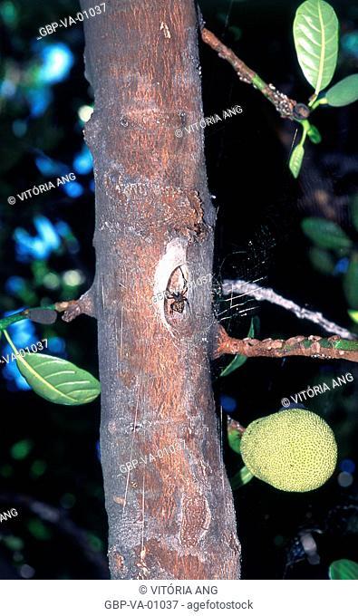 Foot of jackfruit; spider on trunk