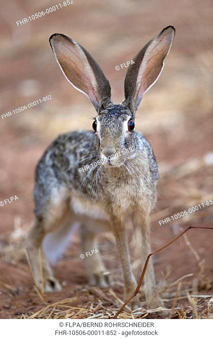 Scrub Hare (Lepus saxatilis) adult, standing alert in dry savannah, Samburu National Reserve, Kenya, August