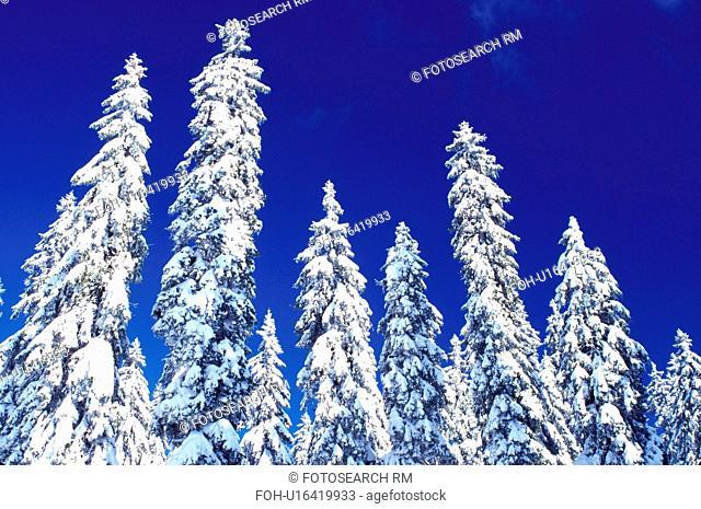 snow, pine trees, winter, Switzerland, Vaud, Jura Mountains, Europe, Evergreen trees covered with snow in the winter in the Jura Mountains