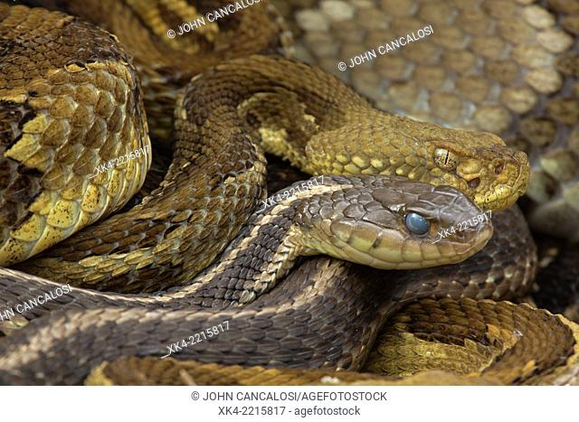 Timber Rattlesnakes (Crotalus horridus), northeastern United States. Gravid females basking, with gravid common garter snake(s) (Thamnophis sirtalis) in group
