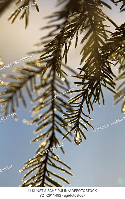 Frost covered dew drops are glittering on fir twigs on an autumn morning. Bredbyn, Västernorrland, Sweden