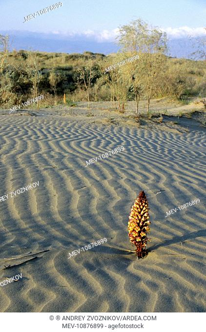 Flowering parasitic plant - in sand dunes of Karakum desert - Kopetdag mountains in the haze on background (Orobanchaceae sp.)