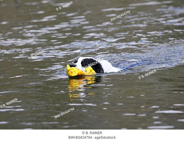 Australian Shepherd (Canis lupus f. familiaris), male dog swimming with a plaything in the water, Germany