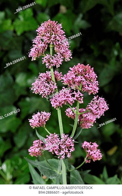 Centranthus ruber, also called red valerian, spur valerian, kiss-me-quick, fox's brush, Devil's Beard and Jupiter's beard. Fam. caprofoliaceae